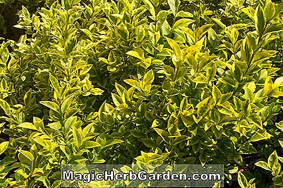 Planter: Ligustrum ovalifolium (Variegatum Privet)
