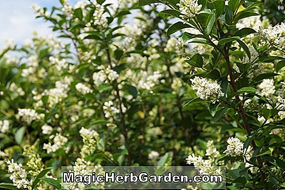 Ligustrum ovalifolium (California Privet)