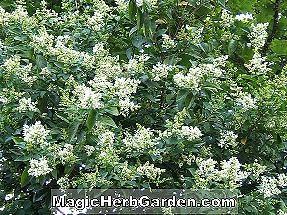 Ligustrum ovalifolium (Tricolor Privet)