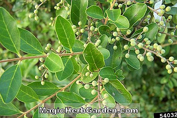 Ligustrum sinense (Green Cascade Privet)