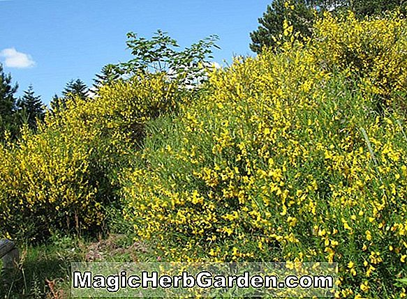 Planter: Ligustrum vulgare (Aureum Privet)