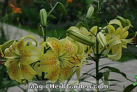 Planter: Lilium (Joy Lily)
