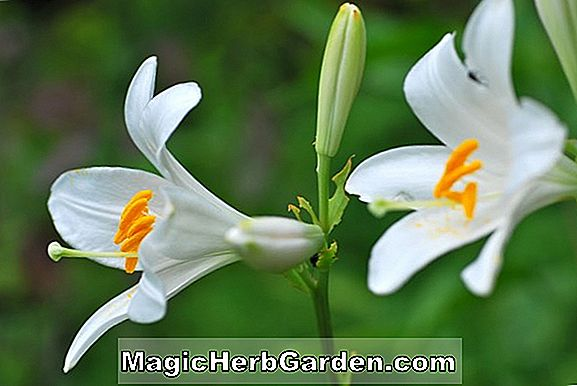 Planter: Lilium (Lime Foot Lily)