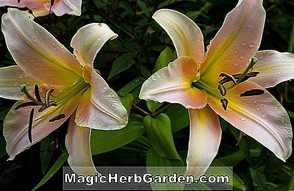 Lilium (Bright Star Lily)