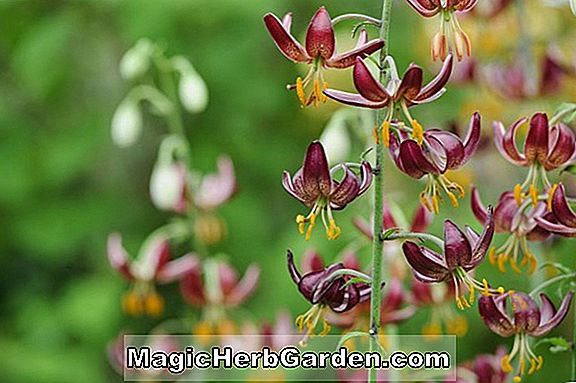 Lilium martagon (Common Turkscap Lily)