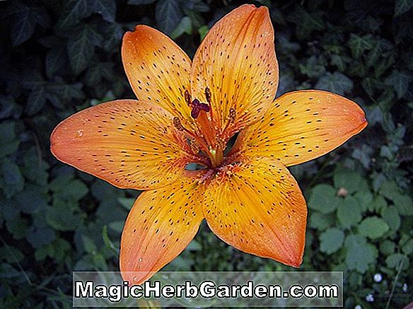 Lilium Michiganense (Michiganense Lily)