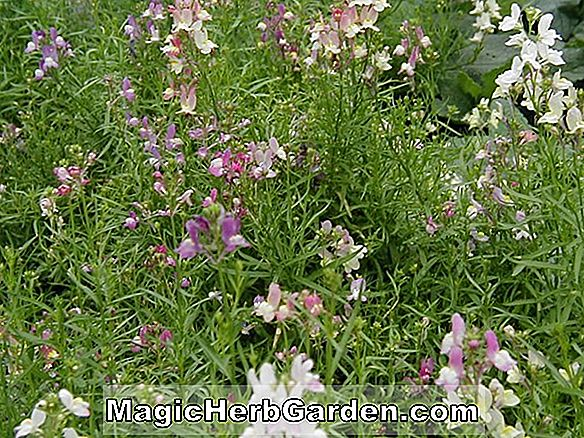 Linaria maroccana (Fee Bouquet)
