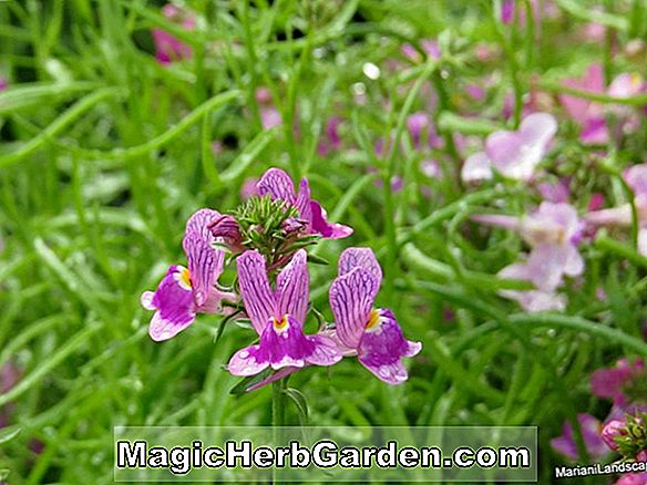 Planter: Linaria Maroccana (Northern Lights)