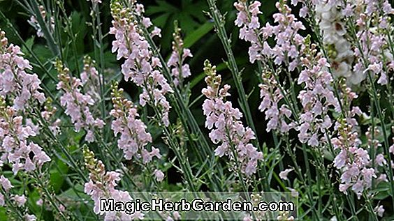 Linaria purpurea (Springside White)
