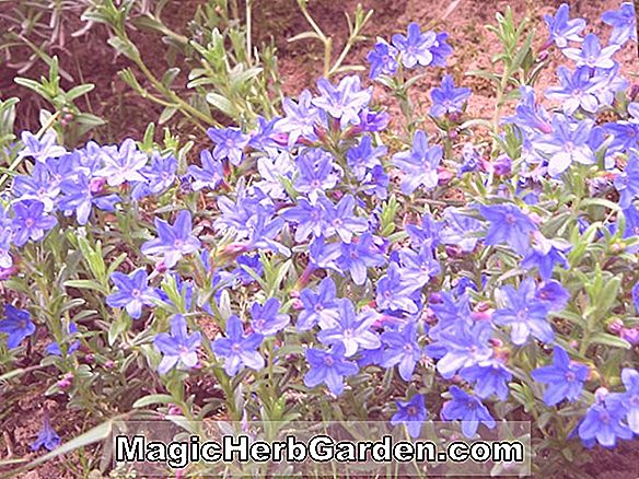 Planter: Lithodora diffusa (Heavenly Blue Lithodora)
