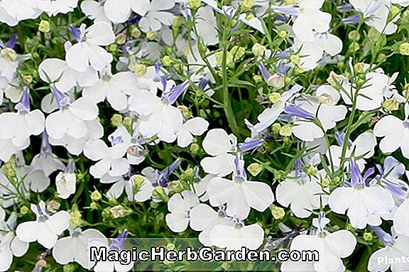 Lobelia erinus (Cambridge Blue Lobelia)