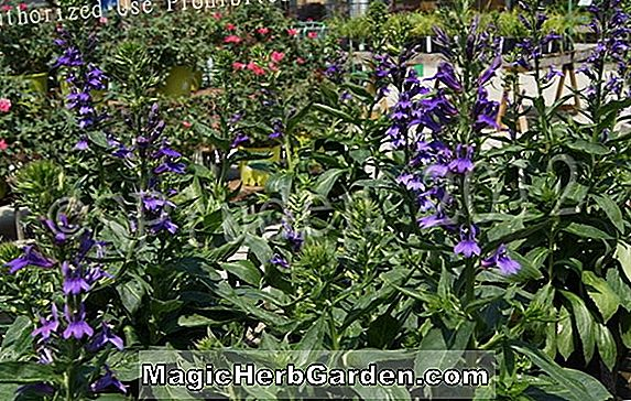 Planter: Lobelia speciosa (Species Lobelia)