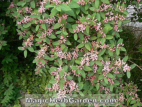 Lonicera korolkowii (Honey Rose Honeysuckle)