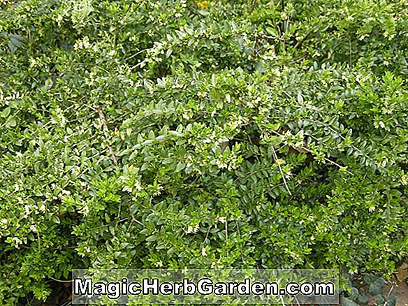 Planter: Lonicera nitida (Boxleaf Honeysuckle)