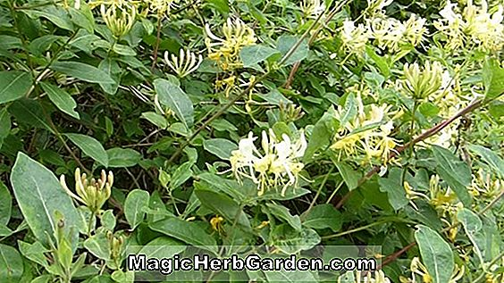 Lonicera periclymenum (Graham Thomas Honeysuckle)