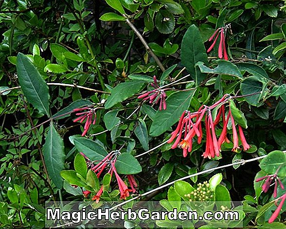 Lonicera sempervirens (Cedar Lane Honeysuckle)