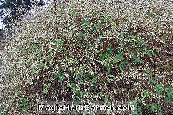 Lonicera purpusii (Purpussi Honeysuckle)