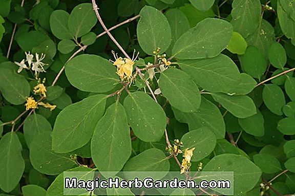 Planter: Lonicera tatarica (Freedom Tatarian Honeysuckle)