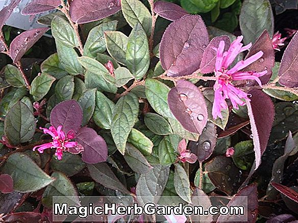 Loropetalum chinense (Plum Delight Loropetalum)
