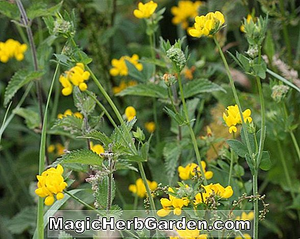 Lotus corniculatus (Double Birds Foot Trefoil Lotus)