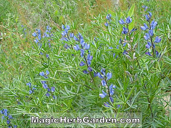 Lupinus (Viscountess Cowdray Lupin)