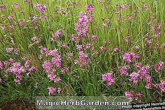Lychnis viscaria (Fontaine Catchfly)