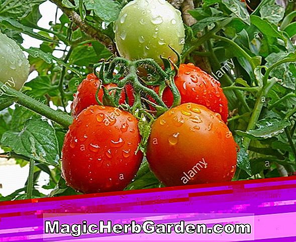 Lycopersicon esculentum (Red Bird Tomato)