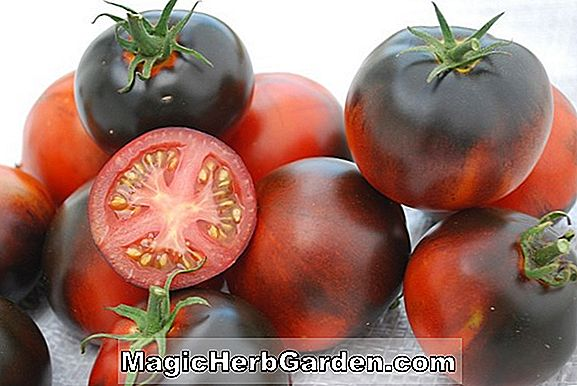 Lycopersicon esculentum (Early Large Red Tomato)