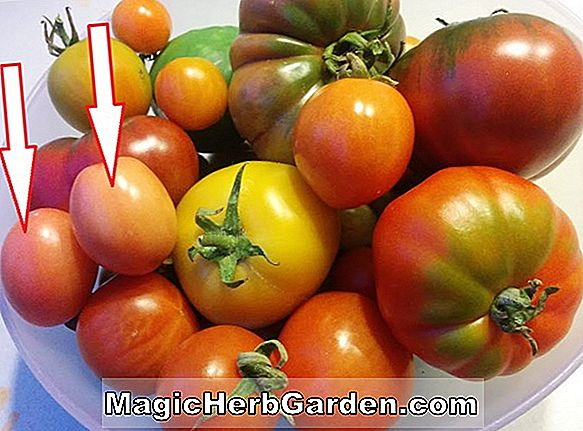 Lycopersicon esculentum (Early Giant Tomato)
