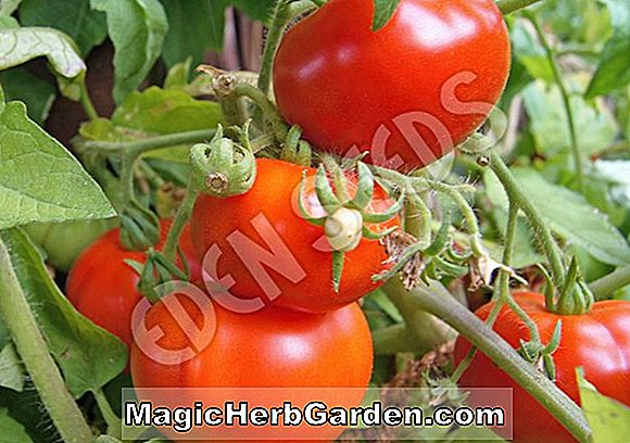 Planter: Lycopersicon esculentum (Golden Treasure Tomato)