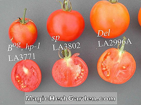 Lycopersicon esculentum (Square Paste Tomato)