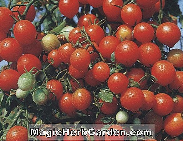 Planter: Lycopersicon esculentum (Red Cherry Tomato)