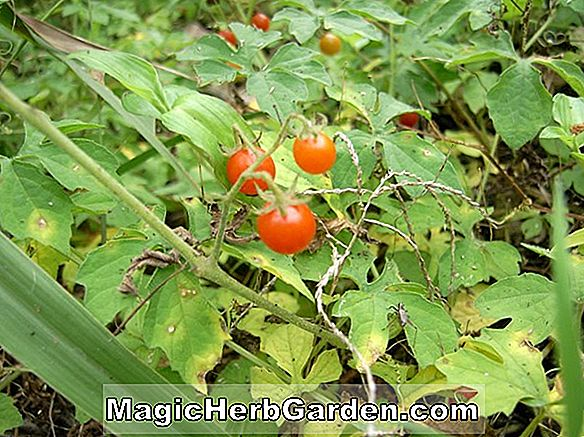 Lycopersicon esculentum (Roadside Red Tomato)
