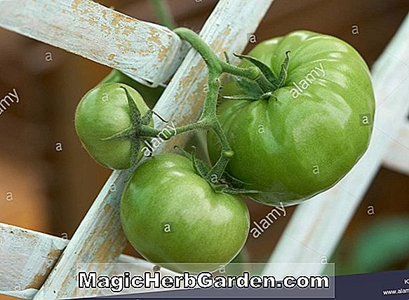 Lycopersicon esculentum (Super Red Tomato)