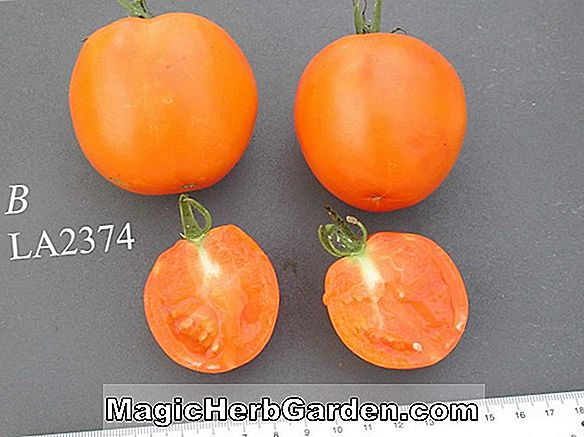 Planter: Lycopersicon esculentum (Caro Red Tomato)