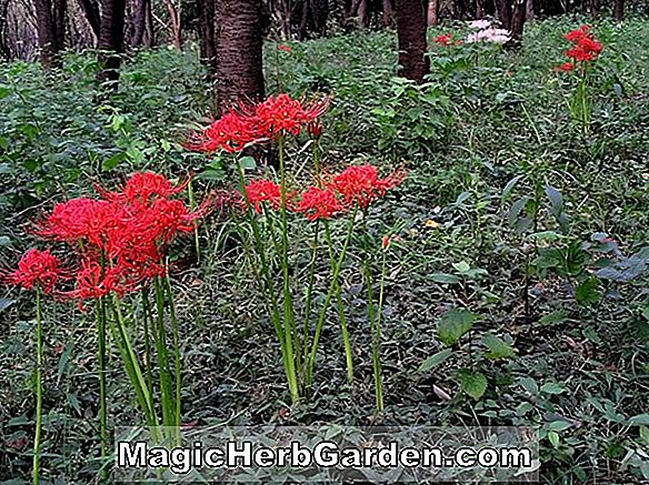 Planter: Lycoris radiata (Red Spider Lily)