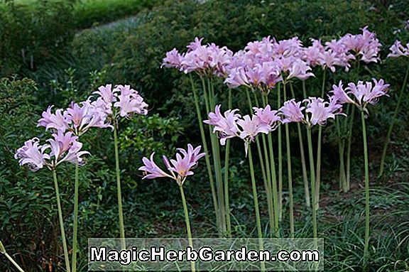 Lycoris squamigera (Opstandelse Lily)