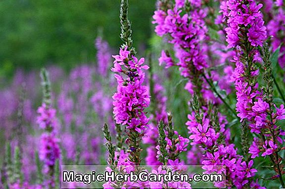Planter: Lythrum salicaria (Happy Loosestrife)