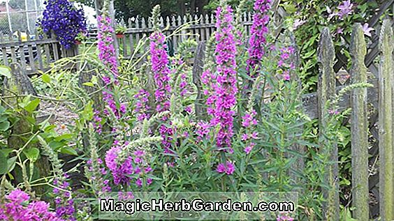 Lythrum virgatum (Purple Loosestrife)