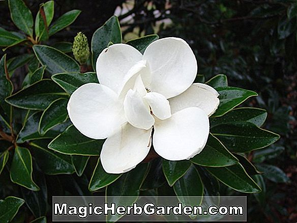 Magnolia grandiflora (Great Laurel Magnolia)