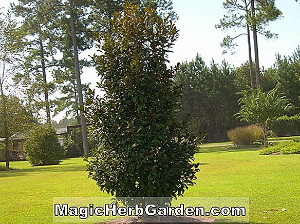 Planter: Magnolia grandiflora (Bracken's Brown Beauty Magnolia)
