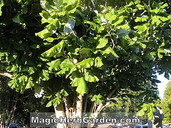 Magnolia macrophylla (Norman Gould Paraply Tree)