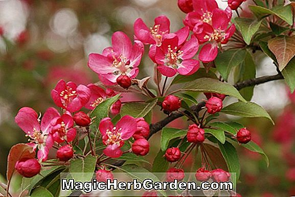 Planter: Malus (Cardinal's Robes Crabapple)