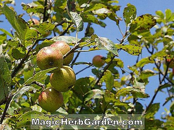 Malus (Printosh Crabapple)