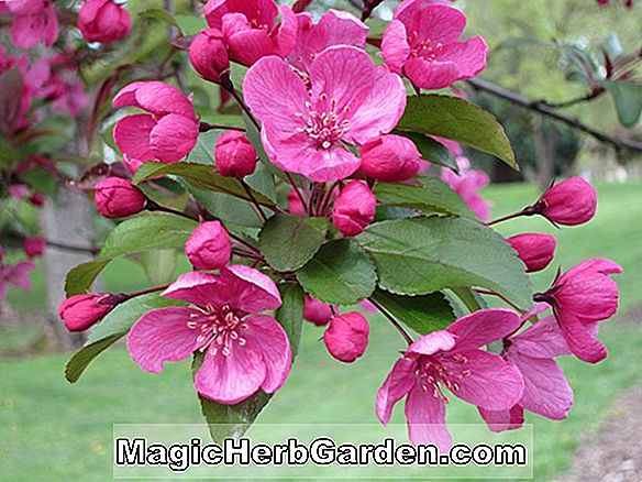 Malus (Golden Galaxy Flowering Crabapple)