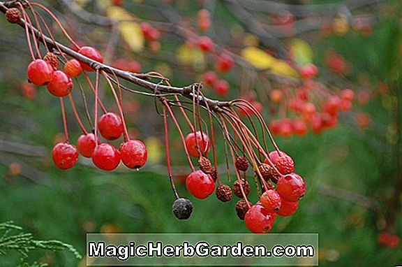 Malus (Gypsy Dancer Blowering Crabapple)