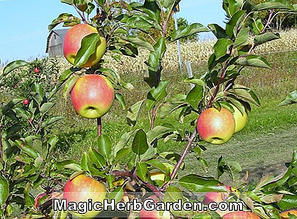 Malus (Joe Trio Crabapple)