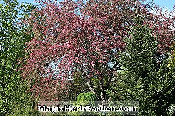 Planter: Malus (American Beauty Crabapple)
