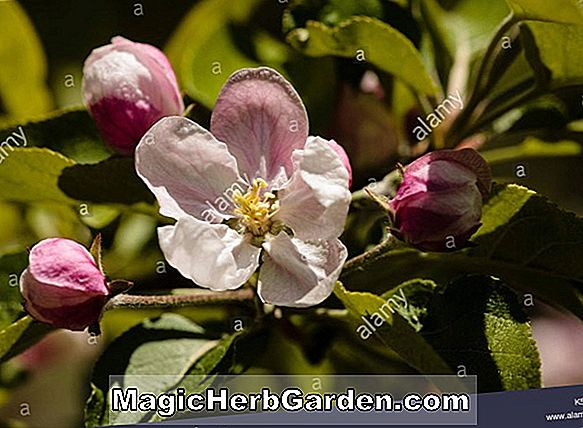 Planter: Malus (Liberty Apple)