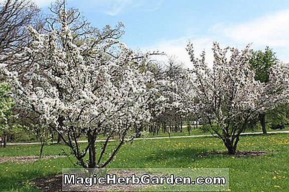 Malus (Midnight Crabapple)